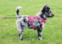 Mudi Dog Breed Information – All You Need To Know