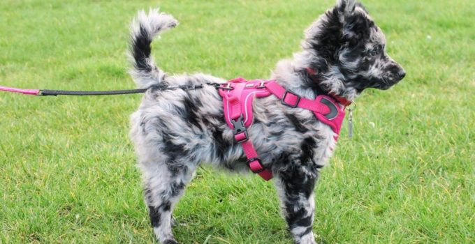Mudi Dog Breed Information All You Need To Know