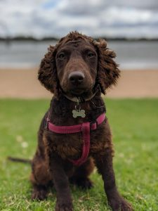 Murray River Curly Coated Retriever Dog Breed Information All You Need To Know