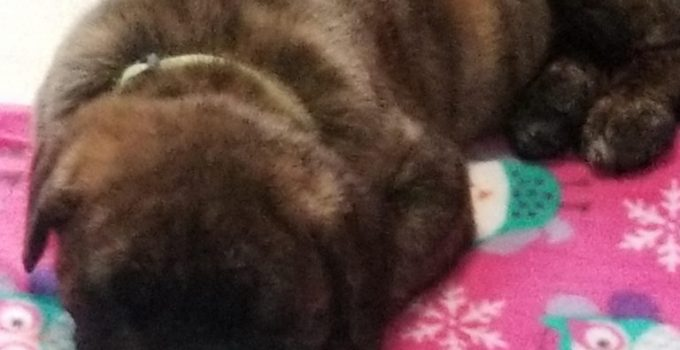 Muscle Mastiff Dog Breed Information All You Need To Know
