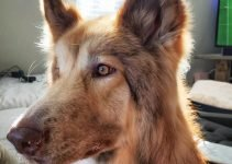 Native American Shepherd Dog Breed Information – All You Need To Know