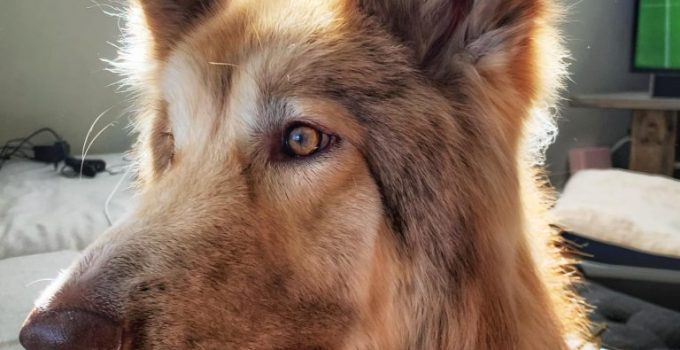 Native American Shepherd Dog Breed Information All You Need To Know