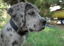 Neo Daniff Dog Breed Information – All You Need To Know