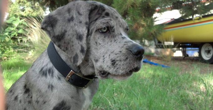 Neo Daniff Dog Breed Information All You Need To Know