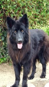 New Shep Dog Breed Information All You Need To Know