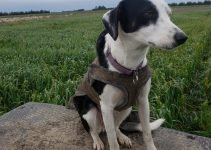 New Zealand Heading Dog Breed Information – All You Need To Know