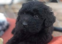Newfypoo Dog Breed Information – All You Need To Know