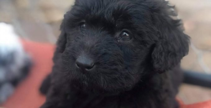 Newfypoo Dog Breed Information All You Need To Know