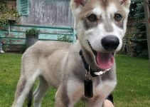Northern Inuit Dog Breed Information – All You Need To Know