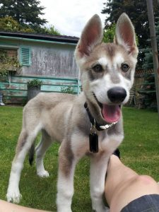 Northern Inuit Dog Breed Information All You Need To Know