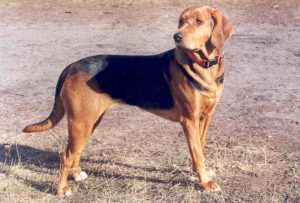 Ogar Polski Dog Breed Information All You Need To Know