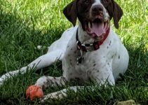 Old Danish Pointer Dog Breed Information – All You Need To Know