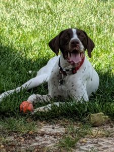 Old Danish Pointer Dog Breed Information All You Need To Know