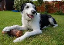 Old Deerhound Sheepdog Dog Breed Information – All You Need To Know