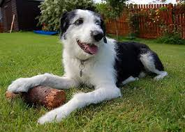 Old Deerhound Sheepdog Dog Breed Information All You Need To Know