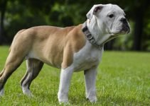 Olde Double Bully Dog Breed Information – All You Need To Know