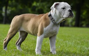 Olde Double Bully Dog Breed Information All You Need To Know