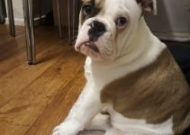 Olde English Bulldogge Dog Breed Information – All You Need To Know