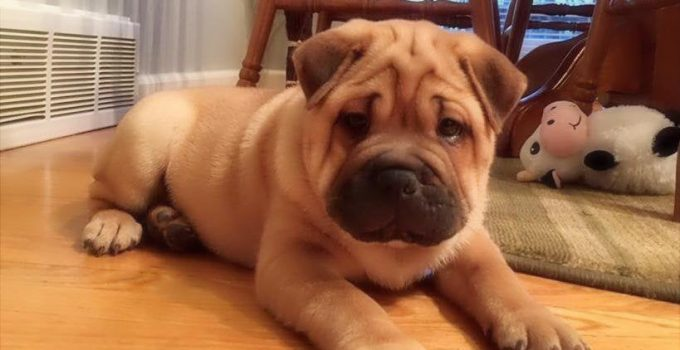 Ori Pei Dog Breed Information All You Need To Know