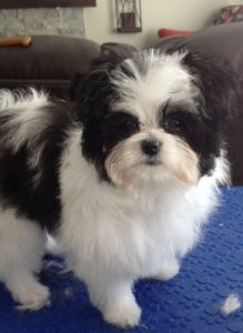 Papastzu Dog Breed Information All You Need To Know