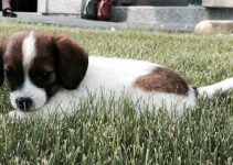 Papeagle Dog Breed Information – All You Need To Know