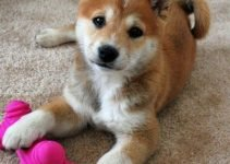 Papi-Inu Dog Breed Information – All You Need To Know