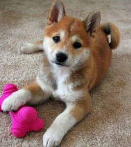 Papi Inu Dog Breed Information All You Need To Know