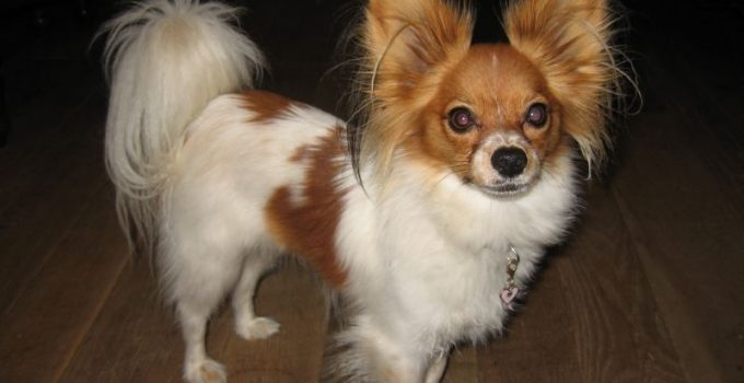 Papigriffon Dog Breed Information All You Need To Know