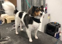 Papiox Dog Breed Information – All You Need To Know