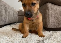 Patterdale Shepherd Dog Breed Information – All You Need To Know