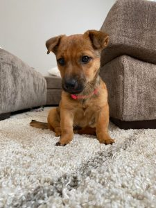Patterdale Shepherd Dog Breed Information All You Need To Know