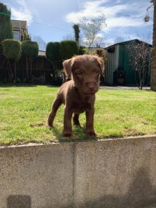 Patterdale Terrier Dog Breed Information All You Need To Know