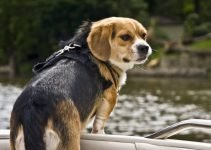 Peagle Dog Breed Information – All You Need To Know