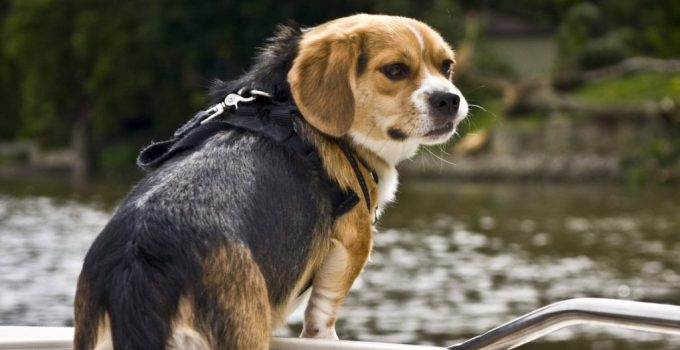 Peagle Dog Breed Information All You Need To Know