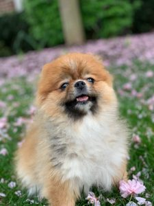 Peek A Pom Dog Breed Information All You Need To Know