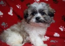 Peke-A-Chon Dog Breed Information – All You Need To Know