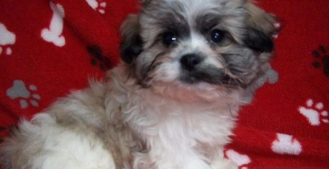 Peke A Chon Dog Breed Information All You Need To Know