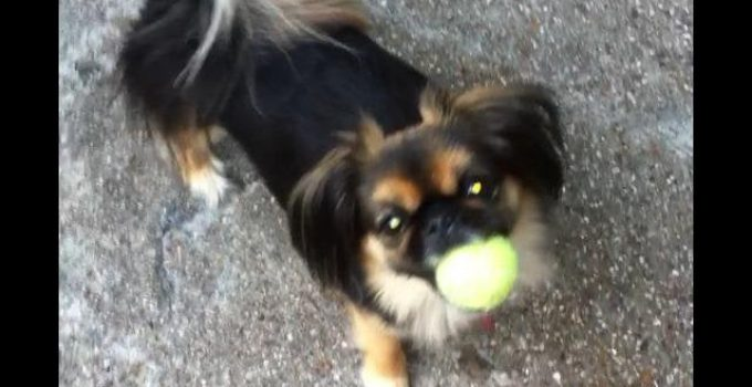Peke A Pap Dog Breed Information All You Need To Know