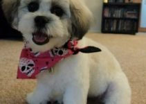 Peke-A-Tese Dog Breed Information – All You Need To Know