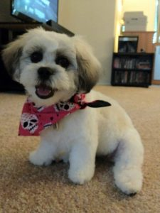 Peke A Tese Dog Breed Information All You Need To Know
