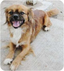 Peke Italian Dog Breed Information All You Need To Know