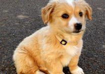 Pembroke Cocker Corgi Dog Breed Information – All You Need To Know