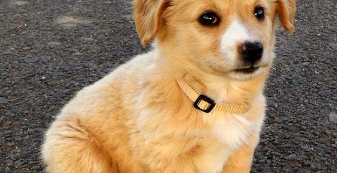 Pembroke Cocker Corgi Dog Breed Information All You Need To Know