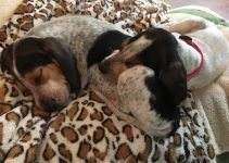 Penn-Marydel Hound Dog Breed Information – All You Need To Know