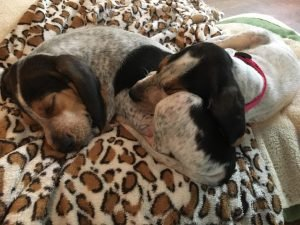 Penn Marydel Hound Dog Breed Information All You Need To Know