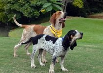 Perro fino Colombiano Dog Breed Information – All You Need To Know