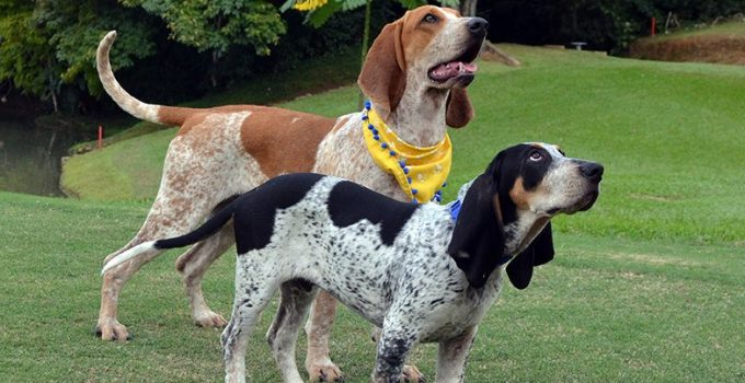 Perro Fino Colombiano Dog Breed Information All You Need To Know