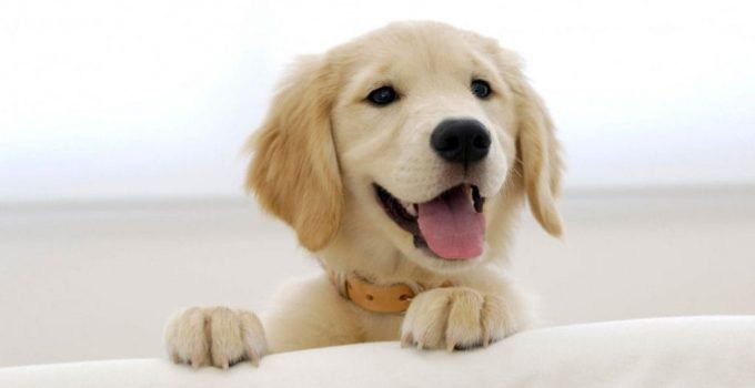 Petite Golden Retriever Dog Breed Information All You Need To Know
