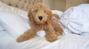 Petite Goldendoodle Dog Breed Information All You Need To Know