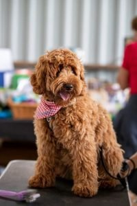 Petite Labradoodle Dog Breed Information All You Need To Know